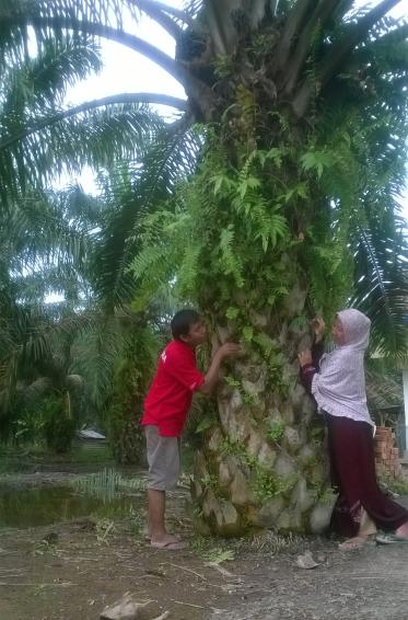 Pohon kelapa sawit depan rumah