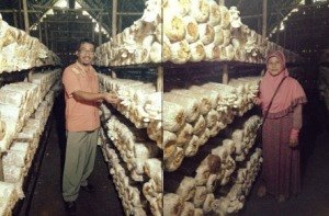 Produksi Jamur Tiram di Sekayu
