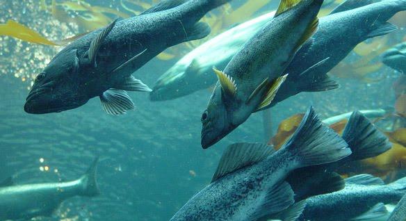salmon-swarm-02