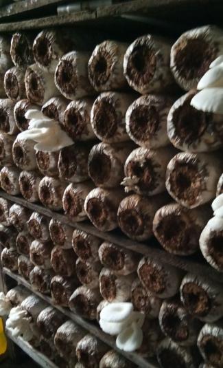 Tips Memulai Usaha Krispy Jamur Tiram Sederhana Dan Sukses
