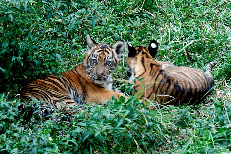 anak-harimau-sumatera-bukittinggi