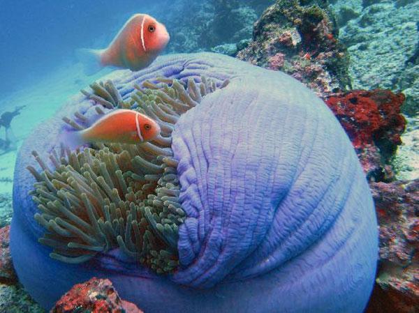 3clown-fish-taman-nasional-bunaken