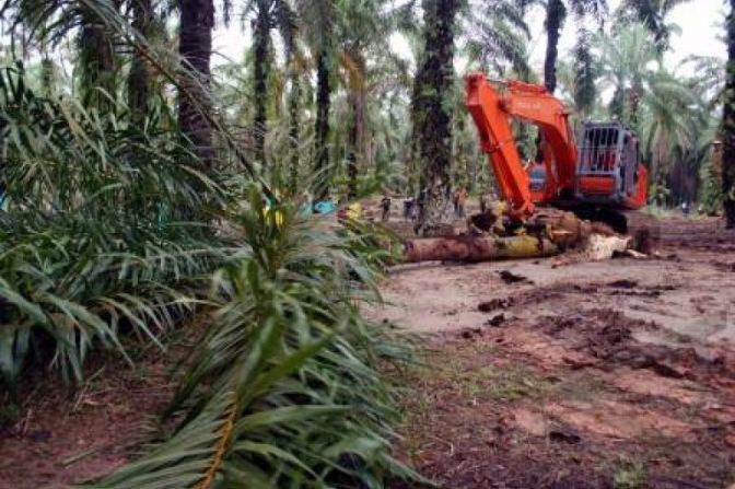 4.446 Hektar Kebun Rakyat Kabupaten Musi Banyuasin Diremajakan (replanting)