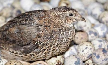 burung puyuh_kabartani