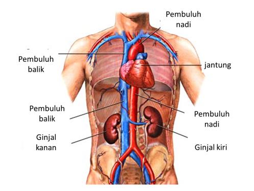 organ ginjal