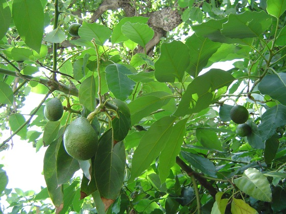 Avocado_fruitnfoliage