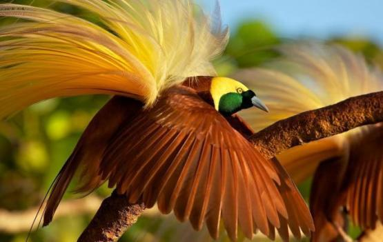 burung-cendrawasih-via-liputan6