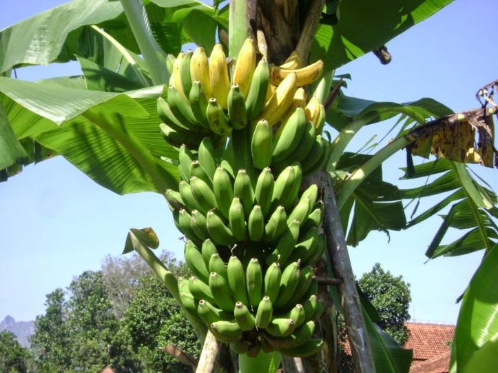 Hasil gambar untuk pohon pisang hd