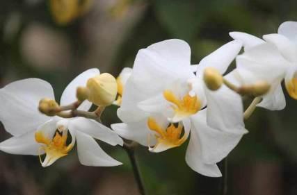 Tanaman-Hias-Jenis-Bunga-Anggrek-Bulan