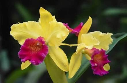 Tanaman-Hias-Jenis-Bunga-Anggrek-Cattleya