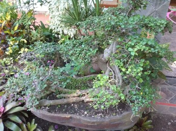 bonsai-tanaman-hias-20180628 at 222914-Marsudi