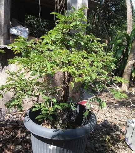 bonsai-marsudi-2018-06-28B