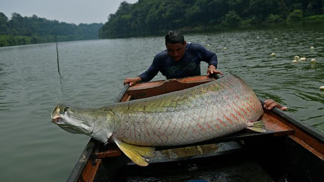 084886700_1508122971-20171016-Ikan-Air-Tawar-Terbesar-di-Sungai-Amazon-AFP-1