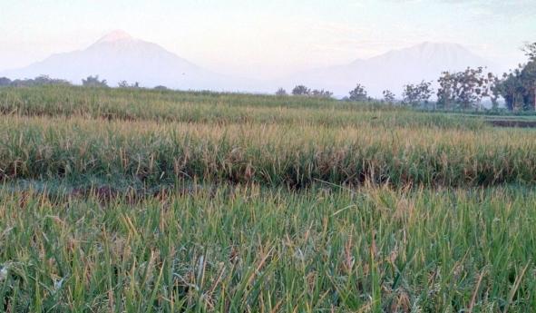 a_Padi-menguning-gunung-Boyolali-Teras-IMG_20180617_060320