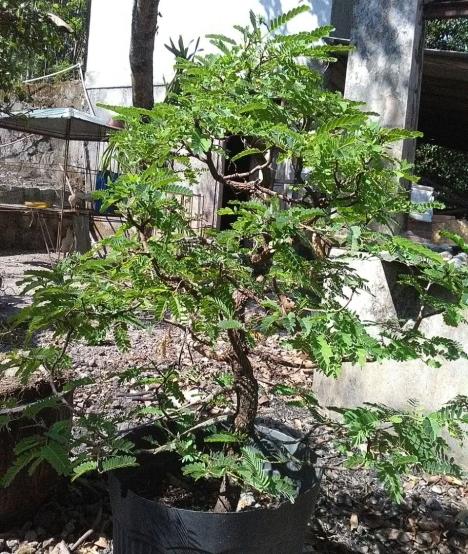 bonsai-asem-jawa-1300k-2018-07-11 at0225293