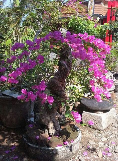 bonsai-bougenfil-580k-2018-07-11 at022201