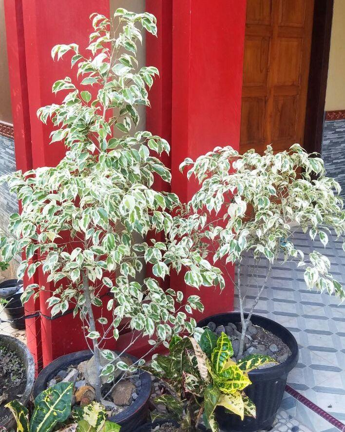bonsai-ringin-putih-150k-2018-07-11at012420