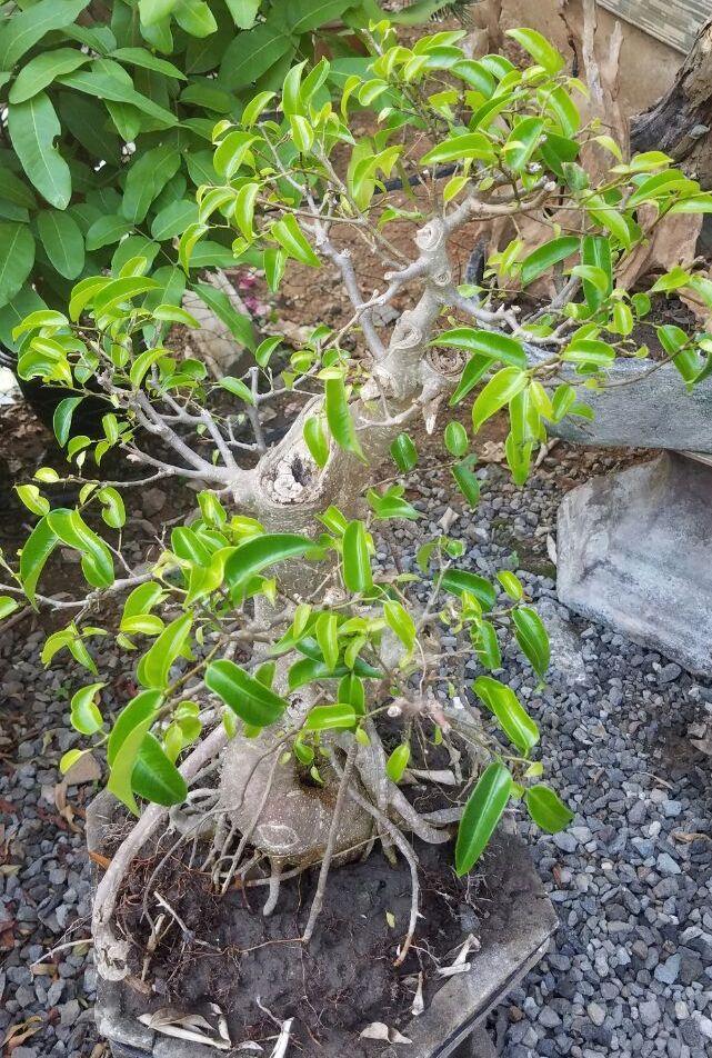 bonsai-ringin-sungsang-500k-2018-07-11 at020325