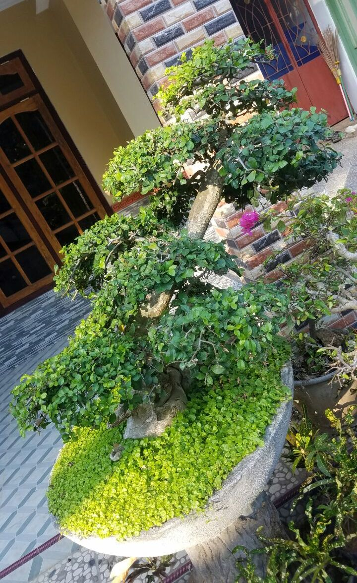 bonsai-serut-3200k-2018-07-11 at 015831