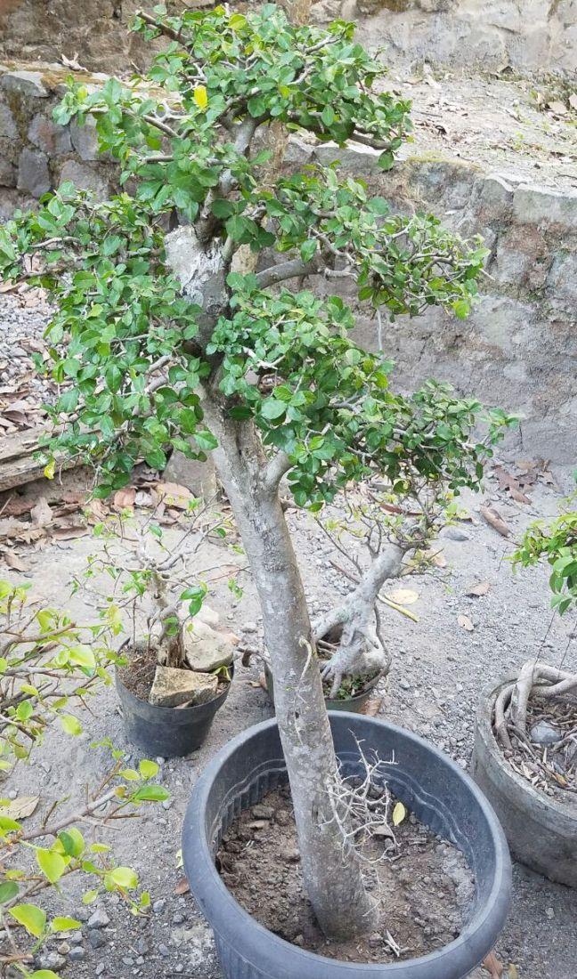 bonsai-serut-taman-450k-2018-07-11 at02.26.46 at2