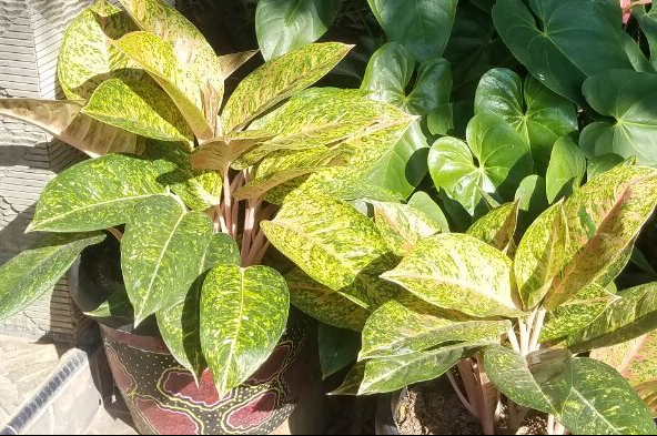 bunga-antarium-keladi