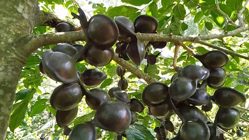 tanaman jengkol buah